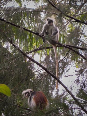 Two Colobus Monkeys Peering at the Veranda