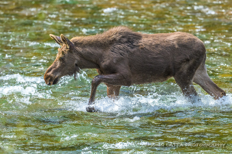 Young Bull Moose Wading the N. Fork Coeur d'Alene River