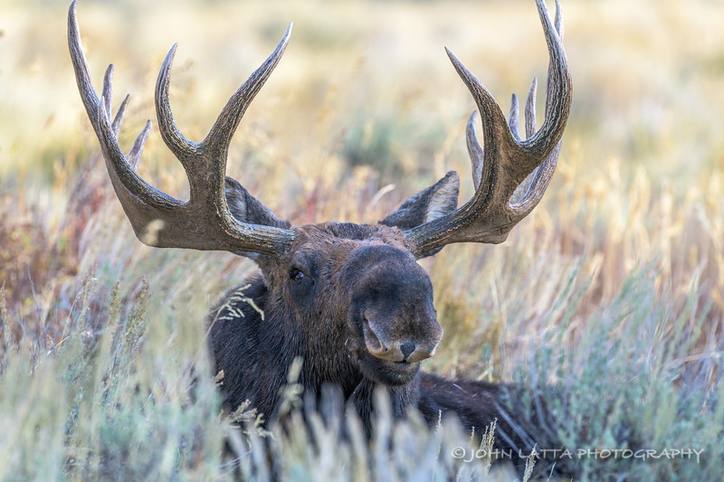 Male Moose Laying in Sagebrush