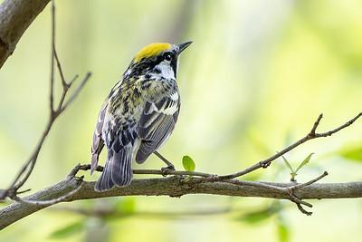 378- Chestnut-sided Warbler