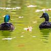 A Pair of Ducks in a Lake 10/20/16