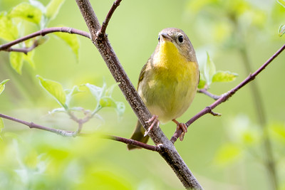 372- Common Yellowthroat Warbler