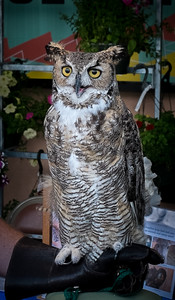 Great Horned Owl on Gloved Handler