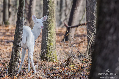 Albino White-tailed Deer (Odocoileus virginianus), Kensington Metropark, Michigan, USA