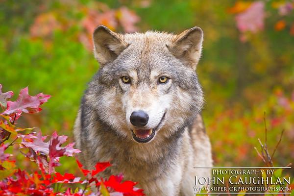 Wolves(fall2g)