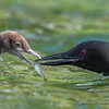 Female Loon Feeding Chick