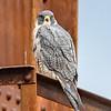 Peregrine Falcon 11/22/16
