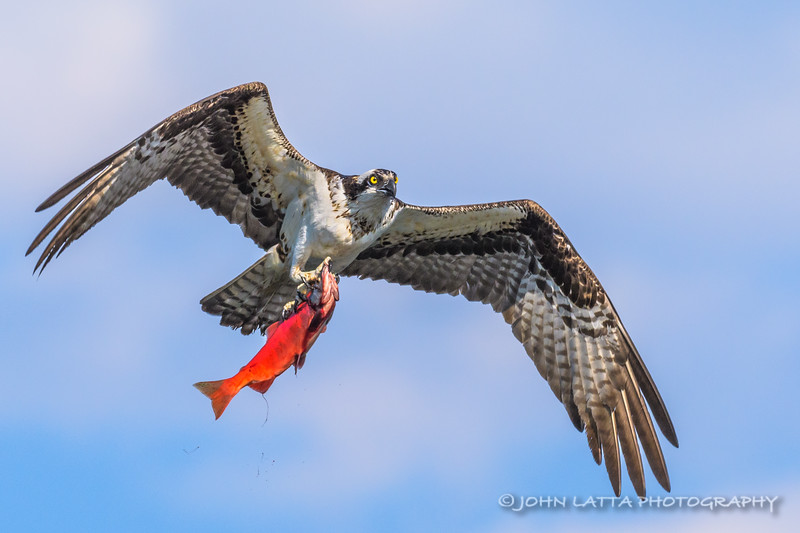 Osprey and Kokanee