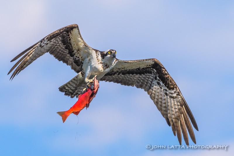 Osprey and Kokanee