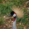 128 - Gray Crowned Crane, Denver Zoo