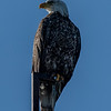 A Sub Adult Bald Eagle Perched On A Tower 4/25/20