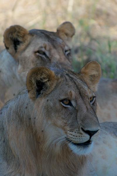 Panthera leo nubica