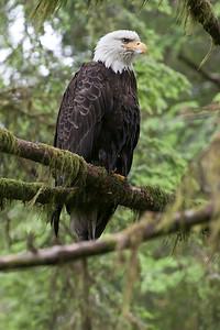 Eagle Majestic