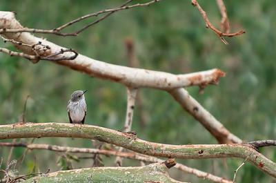 Flycatcher, Spotted