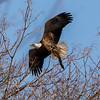 Bald Eagle with Eel