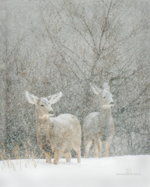 A pair of mule deer (Odocoileus hemionus) looking for shelter before the snow becomes too deep during a Colorado blizzard .