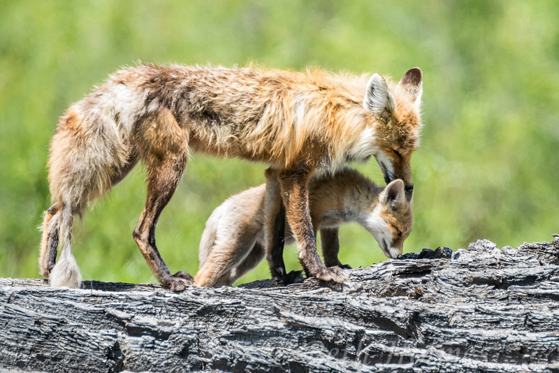 Two foxes Pause
