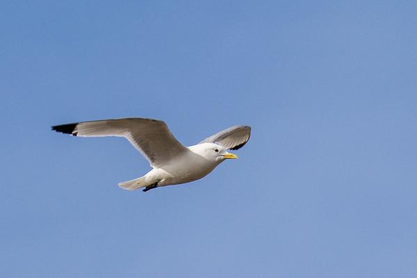 Flying kitiwake