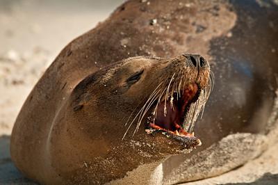 An angry sea lion - Isla Genovesa