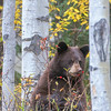 Black Bear Cub Feeding on Rose Hips