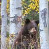 Black Bear Cub Feeding on Rose Hips