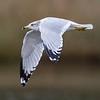 Seagull in Flight 10/5/16