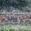 Herd of eland (Taurotragus oryx) in Tarangire National Park, Tanzania, East Africa