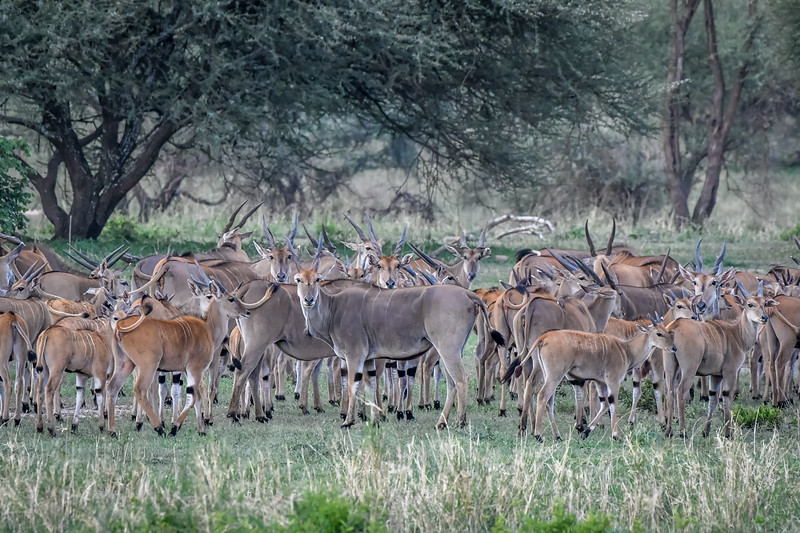 Herd of eland (Taurotragus oryx) in Tarangire National Park, Tanzania, East Africa