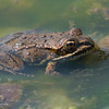Wood Frog in an Algae Pool