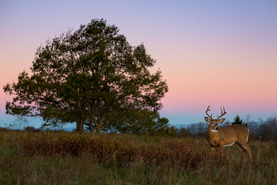Pastel Morning Buck