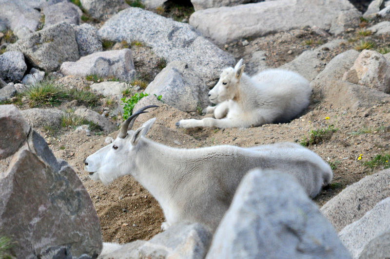 251 - Mountain Goats, Mt. Evans, CO