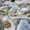 251 - Mountain Goats, Mt. Evans, CO