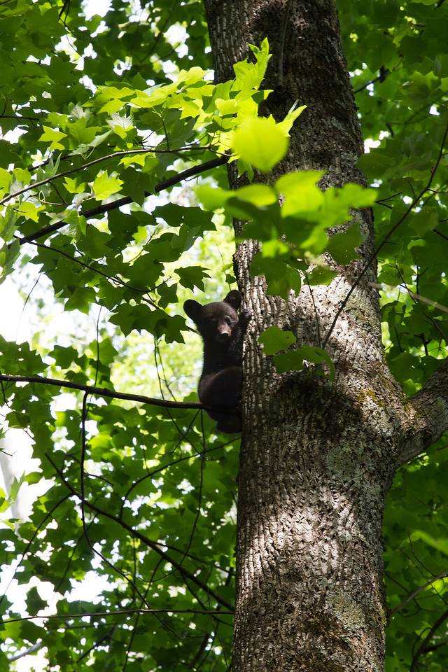 Bear Cub in Great Smoky Mountains National Park, Tennessee