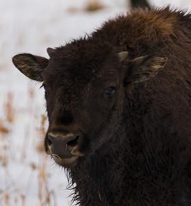 Baby Bison Closeup Portrait