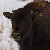 Baby Bison Closeup Portrait