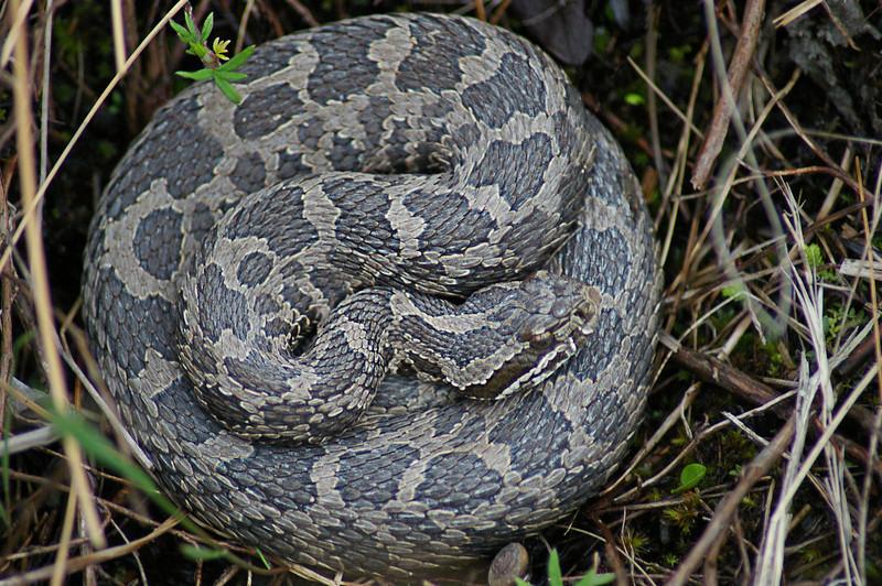 Massassauga Rattlesnake, IN