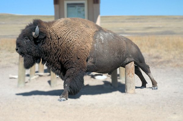 Itching post.  This bison was delightedly scratching the lower half of his fuselage on a post at an information sign in South Dakota's Badlands National Park.