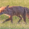 Red Fox on the Hunt 6/13/17