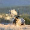 Bull Elk, Cold Morning