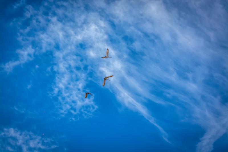 Sandhill Cranes Overhead, Ruby Valley, MT