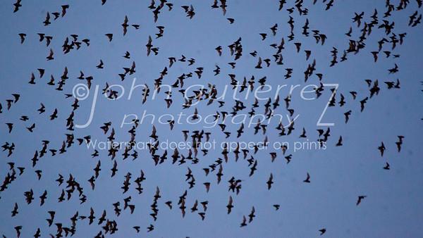 Bats in Round Rock-1