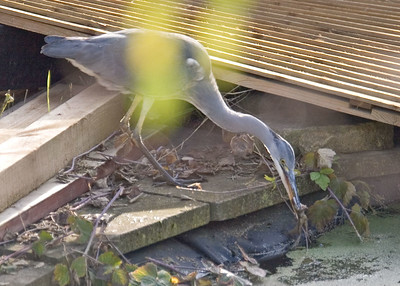 A Grey Heron catches a frog