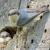Pygmy Nuthatches