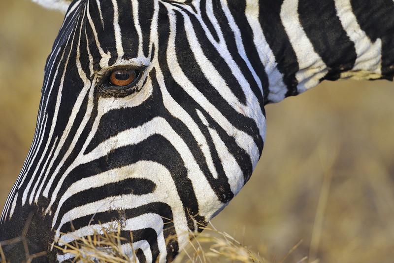 Zebra Eye to Eye, Kenya, East Africa