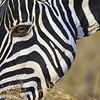 Zebra Eye to Eye, Kenya, East Africa