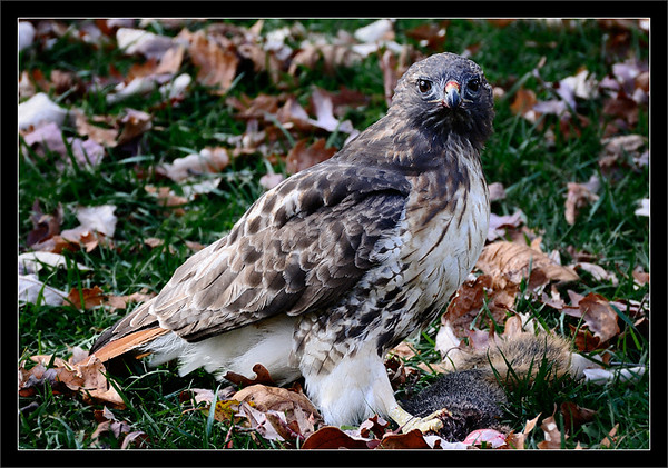Hawk Dinner  A red-tailed hawk rests after hunting down a squirrel for dinner  Ann Arbor, Michigan  22-OCT-2008