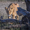 Female lion hiding behind a tree just before hunting wildebeests, Ndutu, Tanzania, East Africa