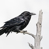 Raven Perched on Snag