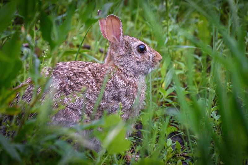 Eastern Cottontail Rabbit in a field near Kearney, Nebraska