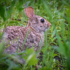 Eastern Cottontail Rabbit in a field near Kearney, Nebraska